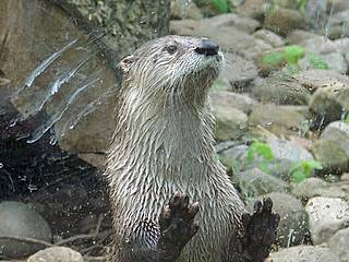 Otter im Akron Zoo. © Yvonne in Willowick Ohio