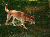 New Guinea Singing Dog © cyclewidow